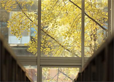 学校的银杏树
